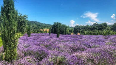 Lavenderium - the buzz of the bees was impressive and soothing!