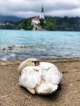A tired swan, cozied up on Lake Bled